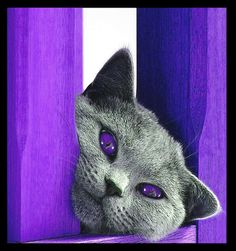 <3 Awww...cat with purple eyes, two of my favorite things! lol
