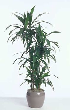 Dracaena Janet Craig; popular interior workhorse; used stand alone; professional favorite; survives low light; grows best in filtered light #fal #spr #sum