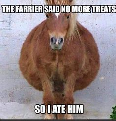 "Horse humor, ""the farrier said n o more treats, so I ate him"". Cute big bellied horse, really big belly!"