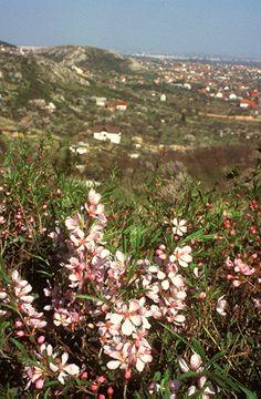 Törpemandulás (Amygdaletum nanae) (Seregélyes Tibor felvétele) Plants, Planters, Plant, Planting
