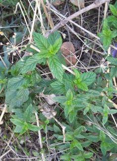 spearmint,Mentha spicata-Bountiful Gardens