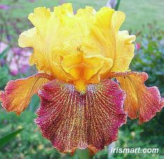 Dragon's Breath Tall Bearded Iris L fragrant Iris Flowers, Colorful Flowers, Beautiful Flowers, Planting Bulbs, Planting Flowers, Iris For Sale, Bearded Iris, Bearded Men, Iris Garden