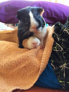 2 male guinea pigs, both less than a year old according to where we purchased them from needing a new home We are unable to keep them as we live in an ..., 1113208348