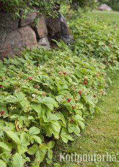 Kuukausimansikasta saa kauniin reunakasvin istuksiin. Suloisesta mansikasta voi poimia herkkuja suoraan suuhun kitkennän lomassa. www.kotipuutarha.fi