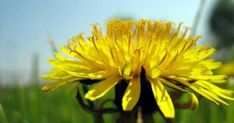 Home Remedies for Backache - Dandelion supplements can also be used to combat the symptoms of pain and inflammation. Home Remedies, Canning, Health, Nature, Plants, Home, Warts, Natural Treatments, Natural Remedies