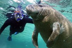 We are the only place the North America where you can legally swim and interact with the manatees in the wild. Your tour leaves directly from the dock at the Plantations very own Adventure Center. Your experienced guide will fill you on all the facts and fun of the manatees as well as the history and nature of Kings Bay and Crystal River.nbsp;