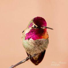 "50 Me gusta, 3 comentarios - Lisa Meyers Swanson (@thehummingbirdwhisperer) en Instagram: ""Beautiful Anna's beauty! #hummingbirdofinstagram #birds #birdsandblooms #hummingbird #hummingbirds…"""