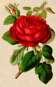 Vintage Graphic - Beautiful Red Rose - The Graphics Fairy