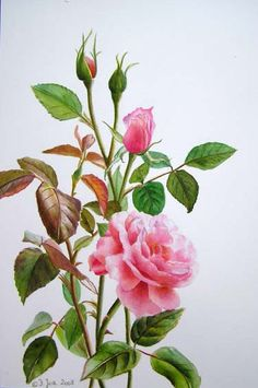 pink rose step by step demonstration -Free tutorial by Doris Joa  I did the drawing for a new Rose painting. It is a Pink Rose with a lot of leaves and three buds and a tiny mini bud. I will paint this