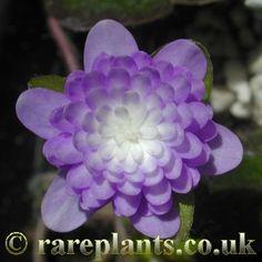 Hepatica japonica 'Ruri' [Family: Ranunculaceae]