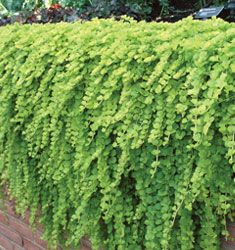 golden creeping jenny - possibly good for vertical wall planting?