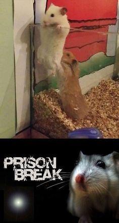 Prison Break, versión hamster