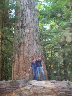 Enormous trees at Cathedral Grove in MacMillan Provincial Park on Vancouver Island. This is an amazing place to visit.