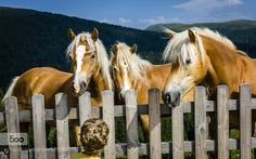 South Tyrol: Hafling ... Young Fellows by SwissFiveNine. Please Like http://fb.me/go4photos and Follow @go4fotos Thank You. :-)