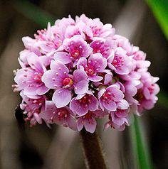 Darmera peltata   From Annie's Annuals & Perennials