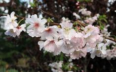 Gardening Tips: The 6 best February flowering plants for your winter garden - David Domoney Winter Flowering Shrubs, Deciduous Trees, Flowering Plants, Prunus, Pink And White Flowers, Hardy Plants, Blooming Plants, Winter Colors, Rose Buds