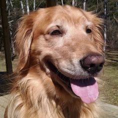 #beautifulday #handsomedog #goldensofinstagram #goldenretriever #retrieversofinstagram #goodtobegolden #itsadogslife #nhdogs #dogsofnh #instadog #instagolden #goldengram