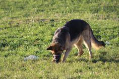 Fährtentraining kann ein tolles Hobby für Dich und Deinen Hund sein. Du forderst sein Talent, lastest ihn aus und gleichzeitig habt ihr eine Menge Spaß damit!