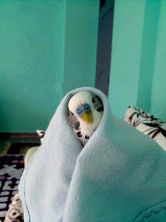 Budgie in a Blanket