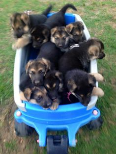 Ohmagosh ohmahosh ohmagosh I would be in heaven if I had a wgon full of German shepherd puppies. I adore German Shepherds