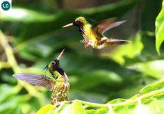 "https://www.facebook.com/WonderBirdSpecies/ Black-crested coquette (male)(Lophornis helenae); Belize, Costa Rica, Guatemala, Honduras, Mexico, and Nicaragua; IUCN Red List of Threatened Species 3.1 : Least Concern (LC)(Loài ít quan tâm) <("") Chim ruồi coquette mào đen (trống); Belize, Costa Rica, Guatemala, Honduras, Mexico và Nicaragua; HỌ CHIM RUỒI - TROCHILIDAE (Hummingbirds)."