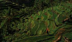 Bali rice terrace. http://www.balisurfwaves.com/