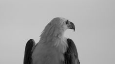 Photo of the Week - White-breasted Sea Eagle