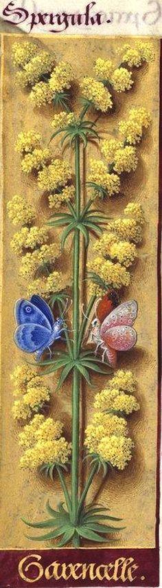 Garencelle - Spergula (Galium verum L. = caille-lait jaune -- nommée 'garencelle', pour sa ressemblance avec la garance) -- Grandes Heures d'Anne de Bretagne, BNF, Ms Latin 9474, 1503-1508, f°105v