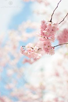 La flor del #sakura (cerezo) quizás sea de las más bellas