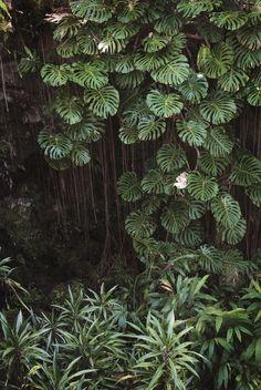 • monstera jungle • #TropicalGarden