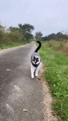 @catskingdom0002 American Shorthair Cat, Gato Gif, All About Cats, Kawaii, Cat Breeds, Cats And Kittens, Cute Cats, North America, Kitty Cats