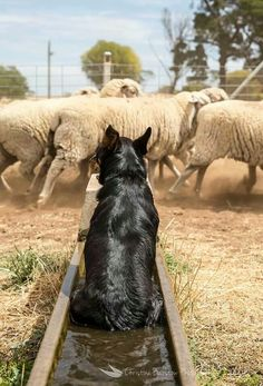 A Kelpie dog cooling off in a water trough, that's all part of his days work in outback Australia. .v@e.