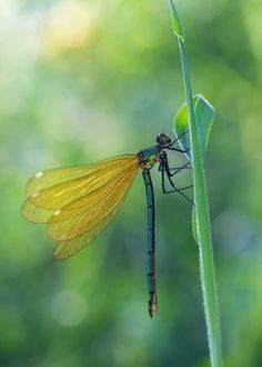 **dragonfly with #yellow wings