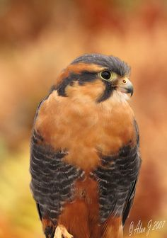American Kestrel. Perhaps the most prodigous small predator.  They're incredibly fast, in a dive they can exceet two hundred miles per hour. And their vision is superb, into the intrared and untraviolet spectrums, too.