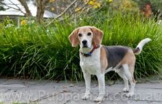 Beagle by Melbourne pet photographers Pupparazzi  www.pupparazzi.com.au