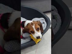 My beagle Chanel 1 - YouTube