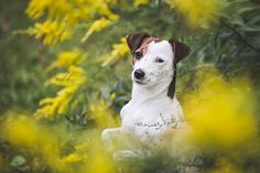 Isis Maria S. sitting pretty in pretty yellow wildflowers...we love this time of the year. #dog #photography #yellow #flowers