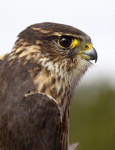 Profile of a Merlin Falcon