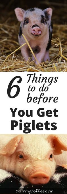 Having pigs on the homestead can be such a joy! Having these 6 things in place before getting piglets will help make keeping backyard pigs more fun, and less frustrating!