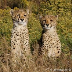 Two African cheetahs sitting side by side in a sea of flowers & grass. Asiatic Cheetah, Cheetahs, Domestic Cat, Beautiful Cats, Big Cats, Animal Kingdom, Wildlife, African, Kitty