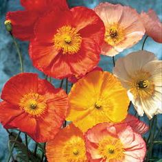 Find iceland Poppy seeds at Mountain Valley seed, including Champagne Bubbles Mix. Love Flowers, Beautiful Flowers, Poppy Flowers, Exotic Flowers, Purple Flowers, Bubble Mix, Icelandic Poppies, Hardy Perennials, Growing Seeds