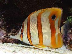Chelmon rostratus  (Copperband butterflyfish)