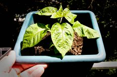 By July, my Carolina Reaper's leaves are growing quite large.