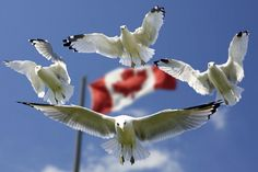 💚 Check out this free photo4 Birds Flying in Mid Air With Flag of Canada Behind during Daytime    🏁 https://avopix.com/photo/40867-4-birds-flying-in-mid-air-with-flag-of-canada-behind-during-daytime    #sulphur-crested cockatoo #cockatoo #parrot #bird #kite #avopix #free #photos #public #domain