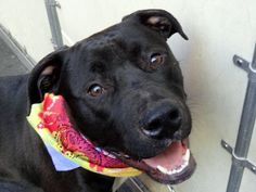SAFE - 04/20/13 Manhattan Center - BRADY  A0961997. a male black and white pit bull mix about 2 YEARS old.What a sweetheart Brady is ! Brady is a magnificent, elegant, lively and mostly very affectionate dog who will make an amazing and loving forever companion. He is on the list tonight, so please save him NOW!  https://www.facebook.com/photo.php?fbid=598828056796744=a.275017085844511.78596.152876678058553=3