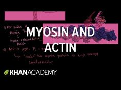 How myosin and actin interact to produce mechanical force. Muscular System For Kids, Apologia General Science, Pa School, School Daze, School Stuff, Biomedical Science, Exercise Physiology, Human Anatomy And Physiology, Muscle Anatomy