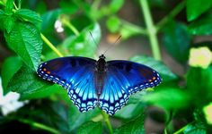 Red Spotted Purple Admiral butterfly.