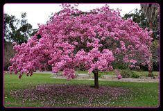 flowering trees | ... / Tabebuia palmeri = Handroanthus impetiginosus - Pink Trumpet Tree