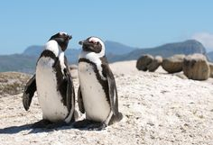 The world famous penguins who stroll on the Boulders beach in South Africa, this colony is known for their extremely funny behavior and braying calls! #CoxandKings