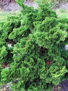 Japansk Ädelcypress, Chamaecyparis obtusa 'Nana Gracilis'   Planteras som solitär eller grupper i rabatter, stenpartier, klippträdgårdar och stora krukor. En fantastisk växt att formklippa! Höjd 2-2,5 meter. Zon 1-3.